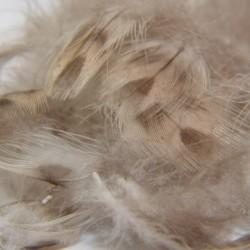 Plumes de canard flanc ou poitrail