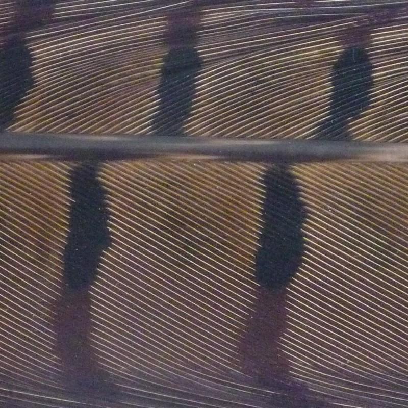 Plumes de queue de faisan naturel