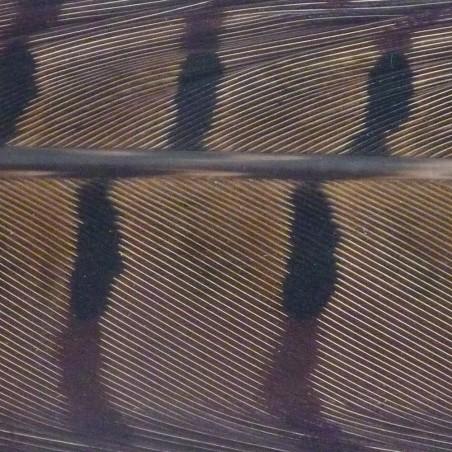 Plumes de queue de coq faisan